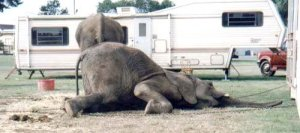 circo-animal